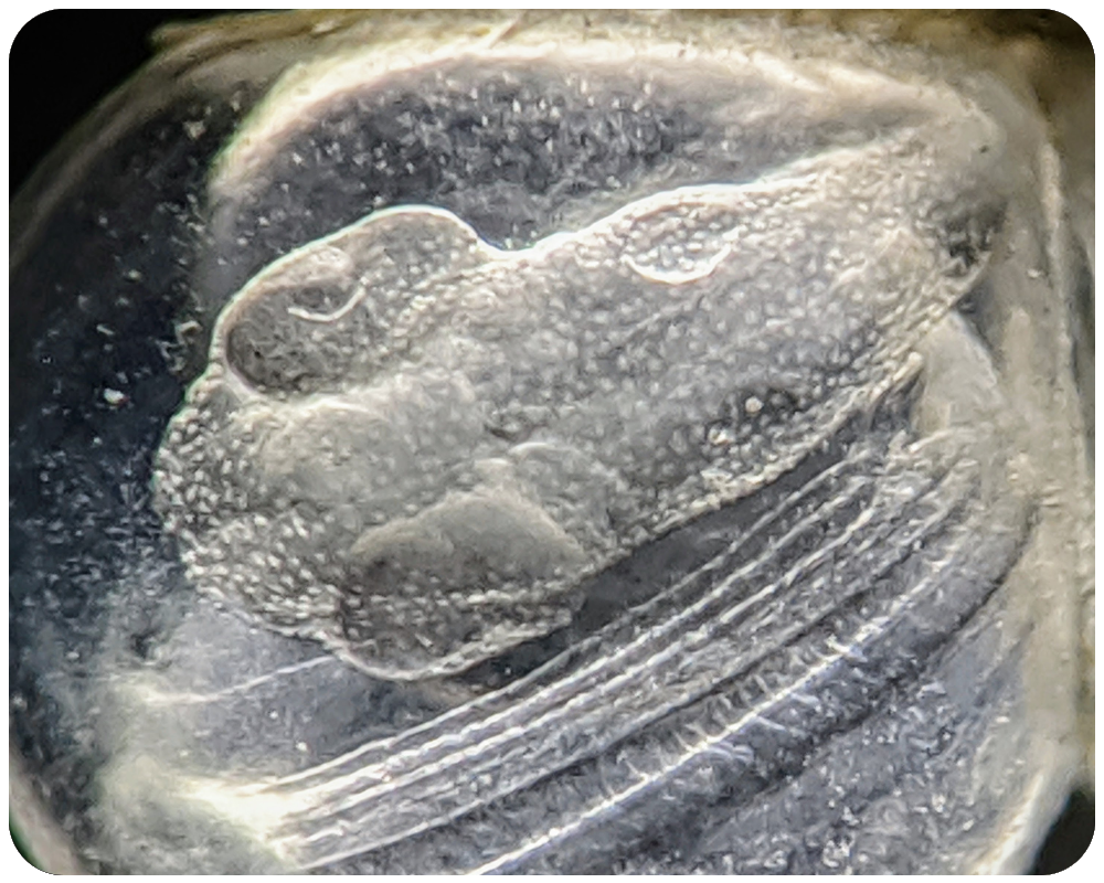 A10---Murray---Pacific-Herring-embryo