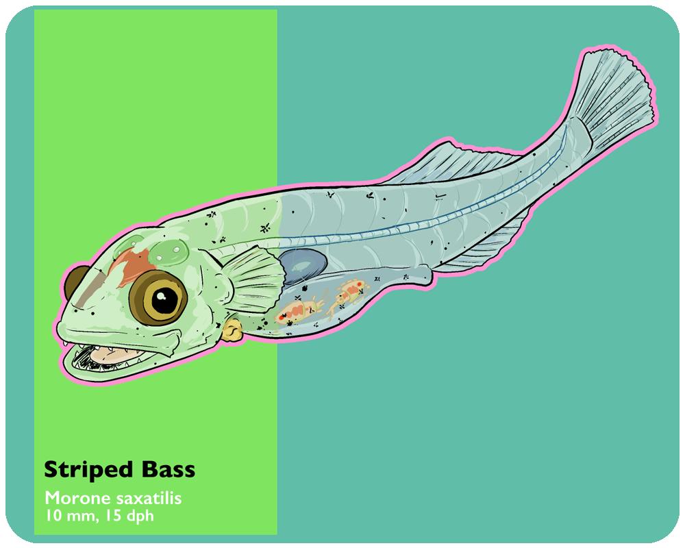B03---Morissette_art_striped_bass_larvae1